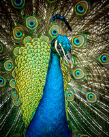 Fine art color photograph of a peacock