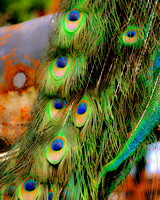 Fine art color photograph of peacock feathers
