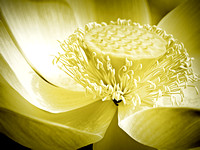 Cream colored fine art photography of lotus flower taken at Kenilworth Park DC