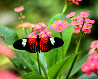Fine art color photograph of doris longwing butterfly