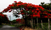 Flamboyan Tree in Bloom