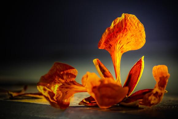Fine Art Image of a Flamboyan Bloom or Royal Poinciana Bloom