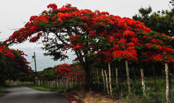 Color photo of a Flamboyan Royal Poinsiana tree in bloom