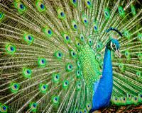 Fine art color photograph of peacock